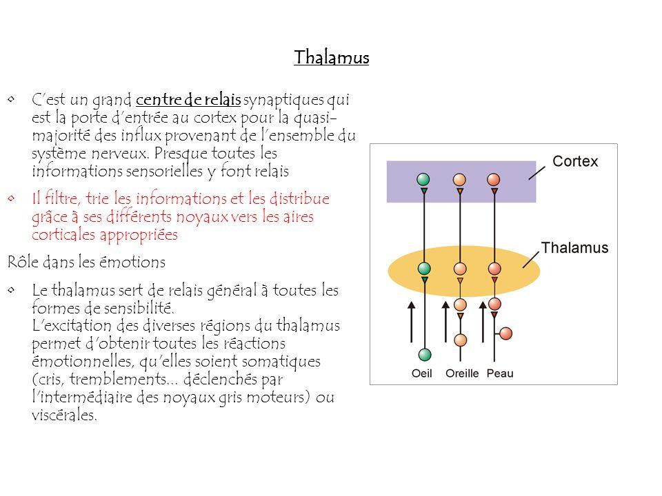 Thalamus Cest un grand centre de relais synaptiques qui est la porte dentrée au cortex pour la quasi- majorité des influx provenant de lensemble du sy