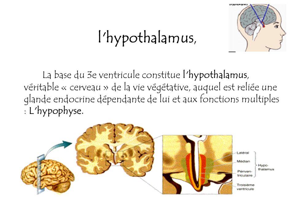 l'hypothalamus, La base du 3e ventricule constitue l'hypothalamus, véritable « cerveau » de la vie végétative, auquel est reliée une glande endocrine