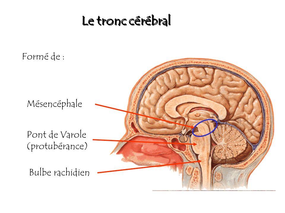 Le tronc cérébral Formé de : Mésencéphale Pont de Varole (protubérance) Bulbe rachidien