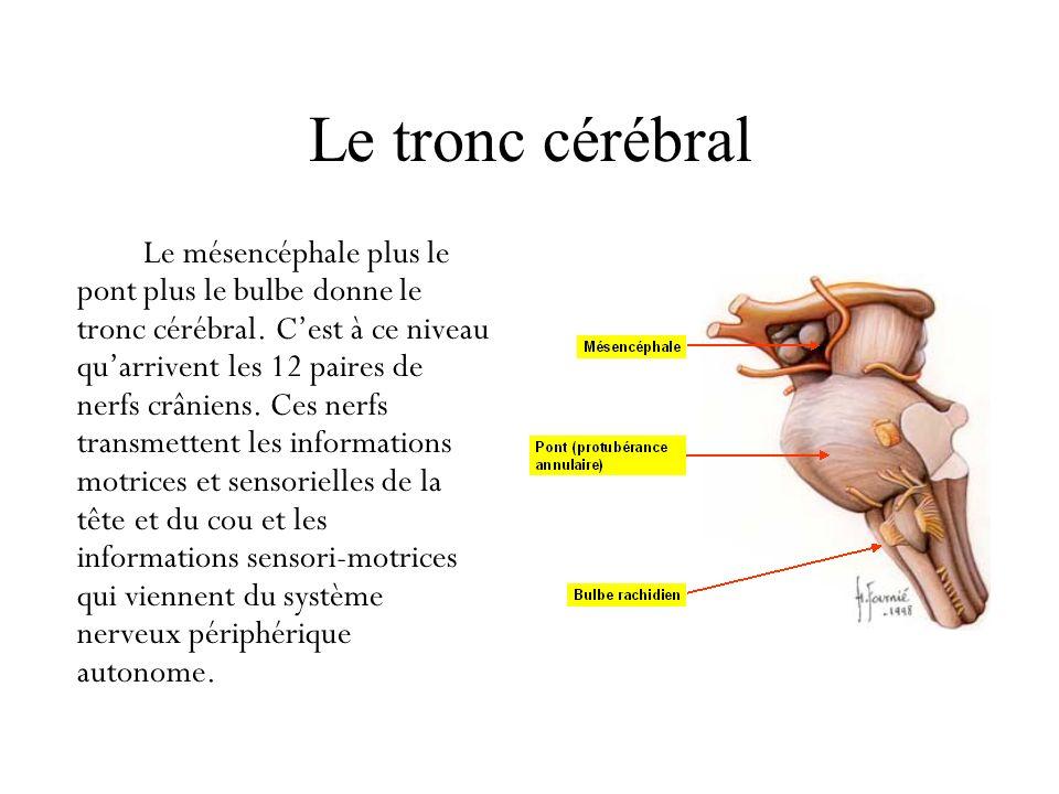 Le tronc cérébral Le mésencéphale plus le pont plus le bulbe donne le tronc cérébral. Cest à ce niveau quarrivent les 12 paires de nerfs crâniens. Ces