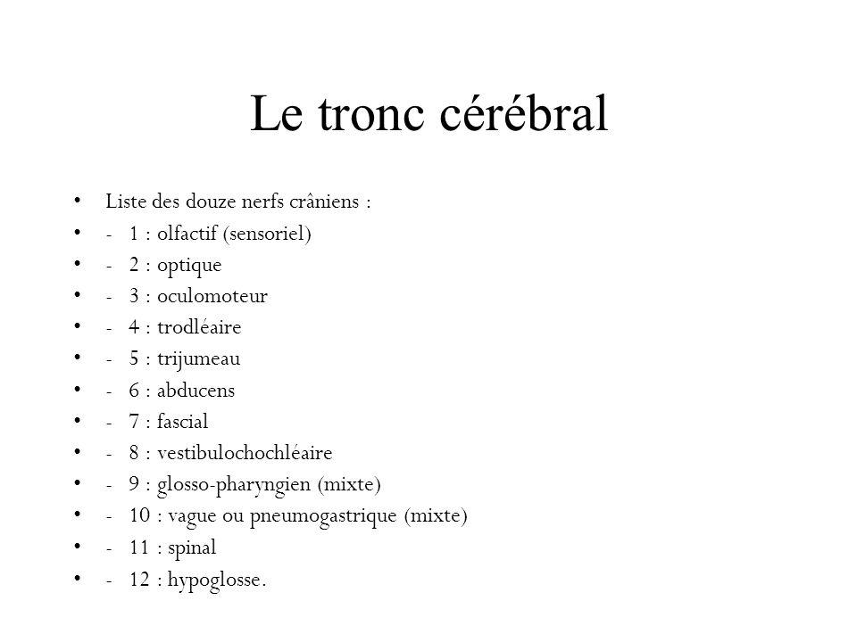 Le tronc cérébral Liste des douze nerfs crâniens : - 1 : olfactif (sensoriel) - 2 : optique - 3 : oculomoteur - 4 : trodléaire - 5 : trijumeau - 6 : a