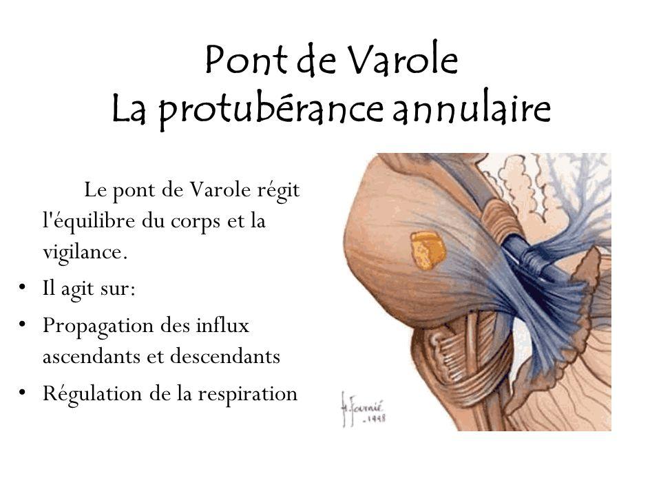 Pont de Varole La protubérance annulaire Le pont de Varole régit l'équilibre du corps et la vigilance. Il agit sur: Propagation des influx ascendants