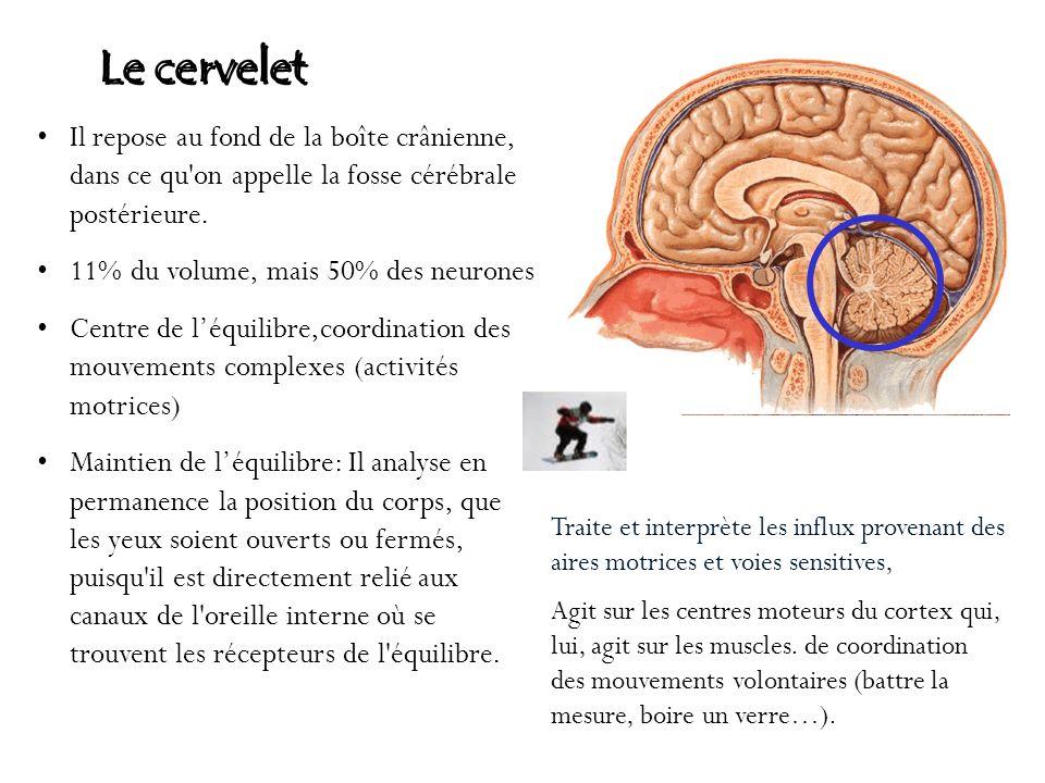Le cervelet Il repose au fond de la boîte crânienne, dans ce qu'on appelle la fosse cérébrale postérieure. 11% du volume, mais 50% des neurones Centre