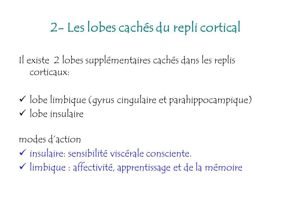 Il existe 2 lobes supplémentaires cachés dans les replis corticaux: lobe limbique (gyrus cingulaire et parahippocampique) lobe insulaire modes daction