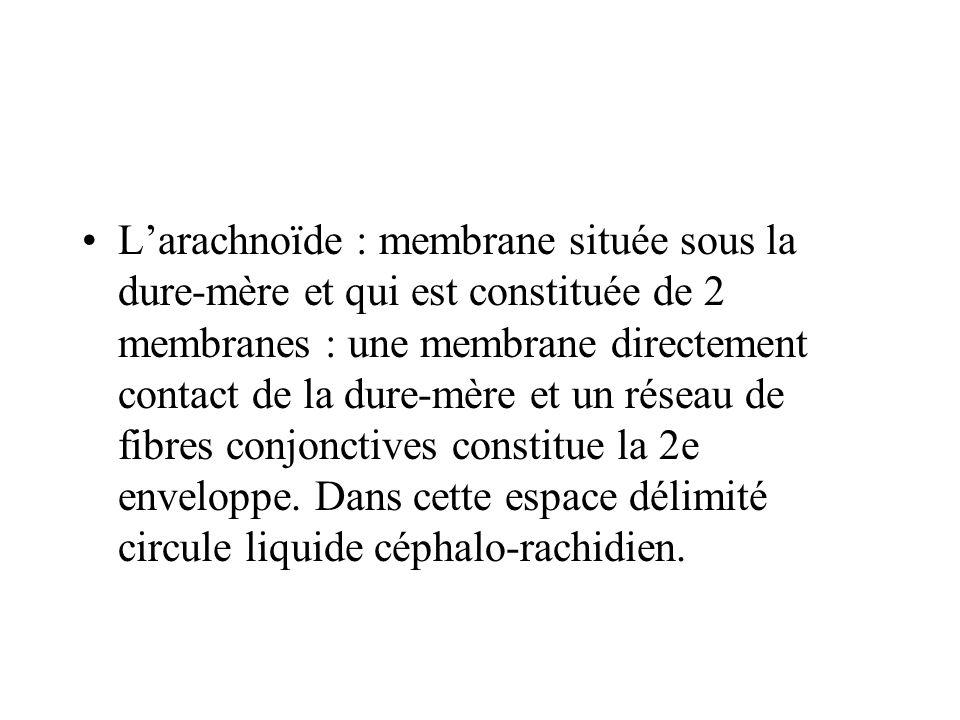 Larachnoïde : membrane située sous la dure-mère et qui est constituée de 2 membranes : une membrane directement contact de la dure-mère et un réseau d