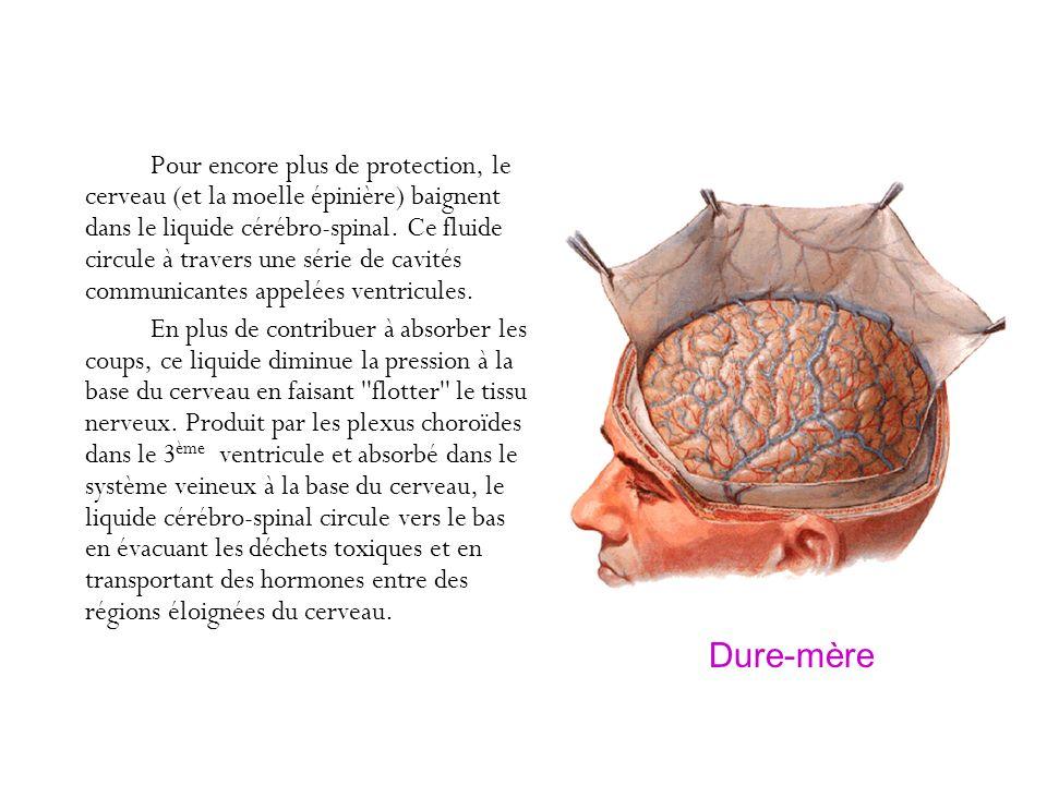 Pour encore plus de protection, le cerveau (et la moelle épinière) baignent dans le liquide cérébro-spinal. Ce fluide circule à travers une série de c
