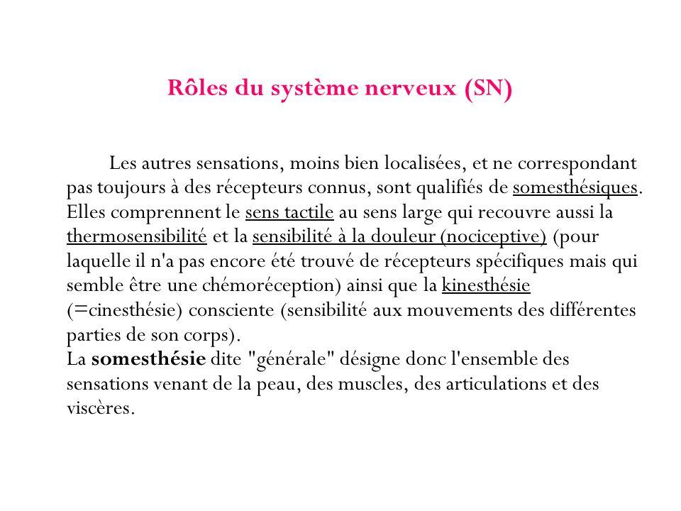 Rôles du système nerveux (SN) Les autres sensations, moins bien localisées, et ne correspondant pas toujours à des récepteurs connus, sont qualifiés d