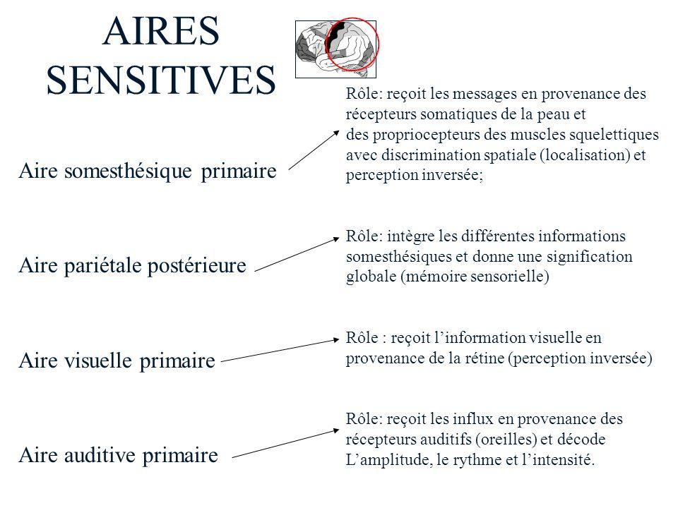 AIRES SENSITIVES Rôle: reçoit les messages en provenance des récepteurs somatiques de la peau et des propriocepteurs des muscles squelettiques avec di