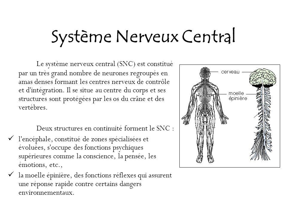 Système Nerveux Central Le système nerveux central (SNC) est constitué par un très grand nombre de neurones regroupés en amas denses formant les centr