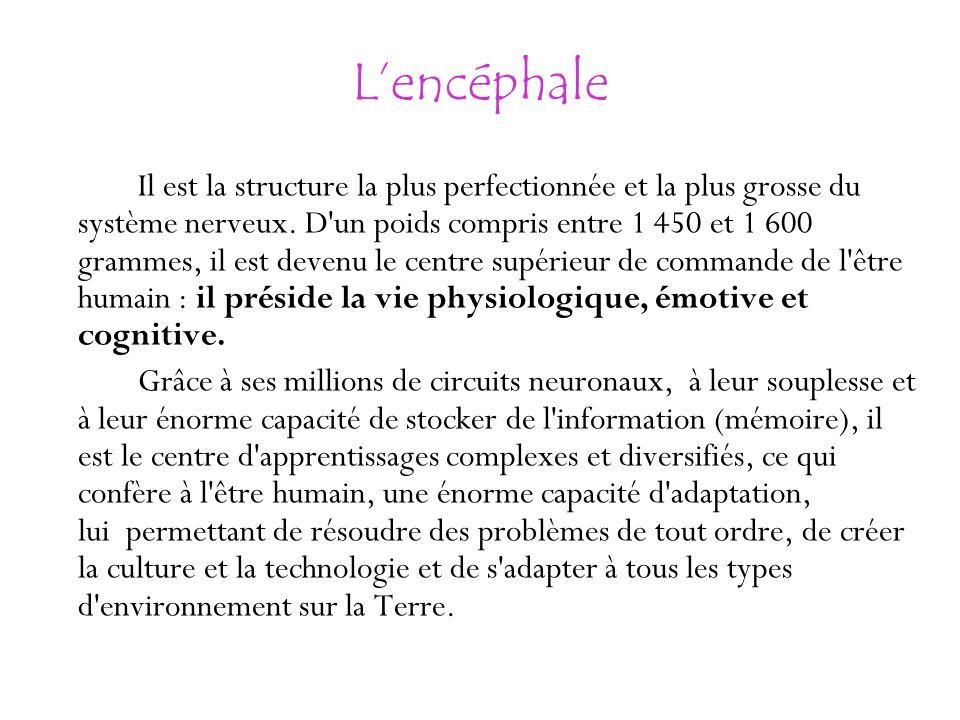 Lencéphale Il est la structure la plus perfectionnée et la plus grosse du système nerveux. D'un poids compris entre 1 450 et 1 600 grammes, il est dev