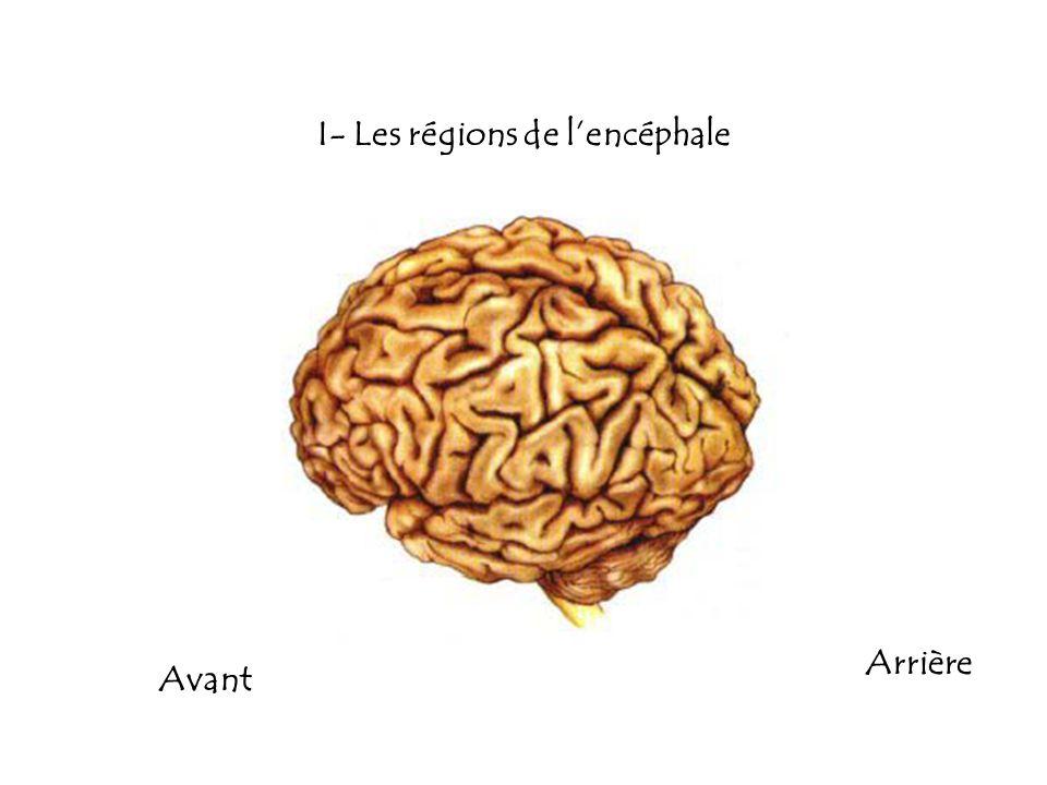 I- Les régions de lencéphale Avant Arrière