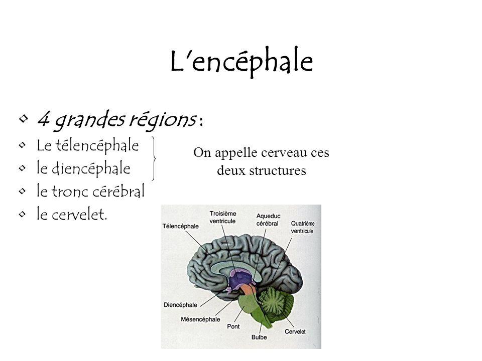 L'encéphale 4 grandes régions : Le télencéphale le diencéphale le tronc cérébral le cervelet. On appelle cerveau ces deux structures