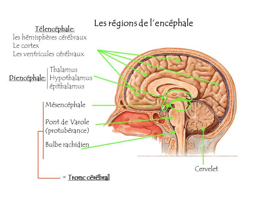 Les régions de lencéphale Télencéphale: les hémisphères cérébraux Le cortex Les ventricules cérébraux Mésencéphale Pont deVarole (protubérance) Bulbe