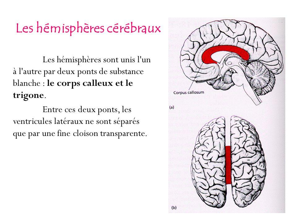 Les hémisphères sont unis l'un à l'autre par deux ponts de substance blanche : le corps calleux et le trigone. Entre ces deux ponts, les ventricules l