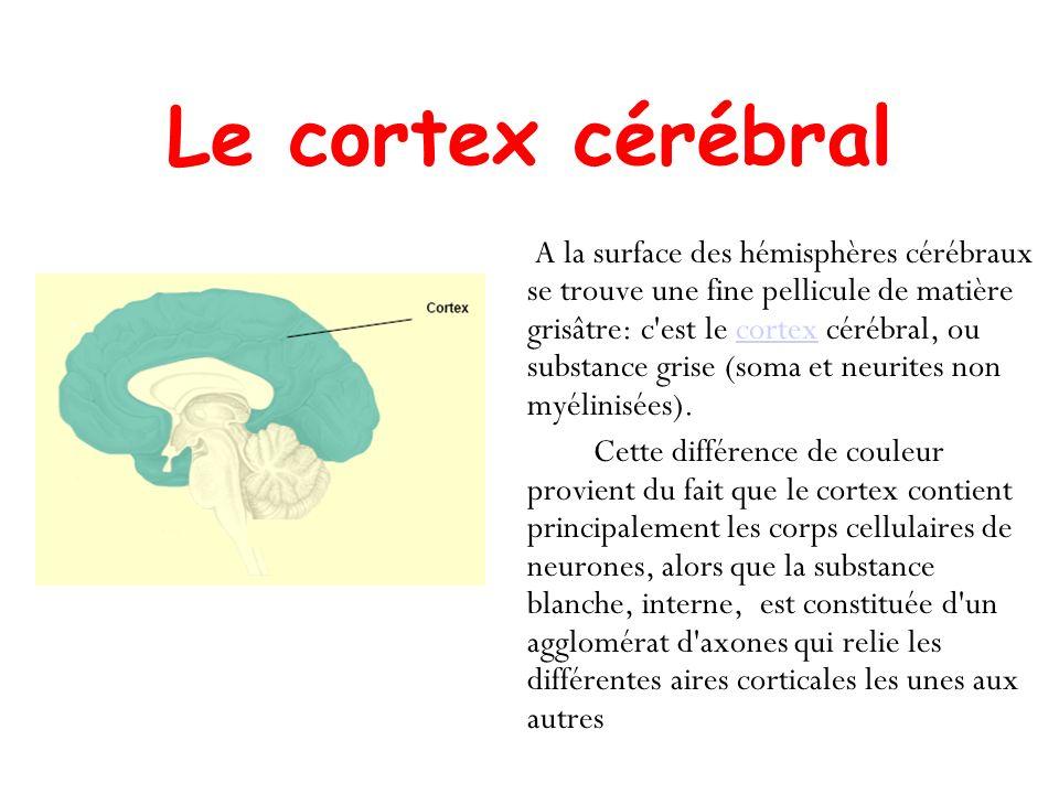 A la surface des hémisphères cérébraux se trouve une fine pellicule de matière grisâtre: c'est le cortex cérébral, ou substance grise (soma et neurite