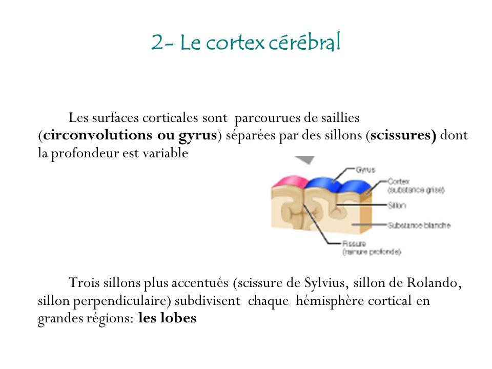 Les surfaces corticales sont parcourues de saillies (circonvolutions ou gyrus) séparées par des sillons (scissures) dont la profondeur est variable Tr