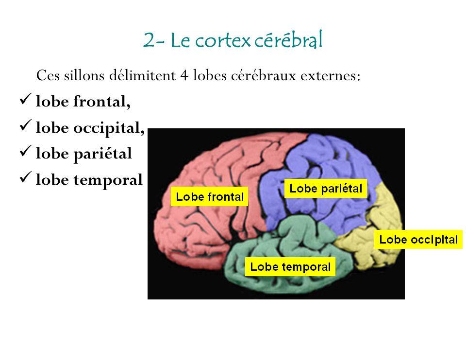 Ces sillons délimitent 4 lobes cérébraux externes: lobe frontal, lobe occipital, lobe pariétal lobe temporal 2- Le cortex cérébral