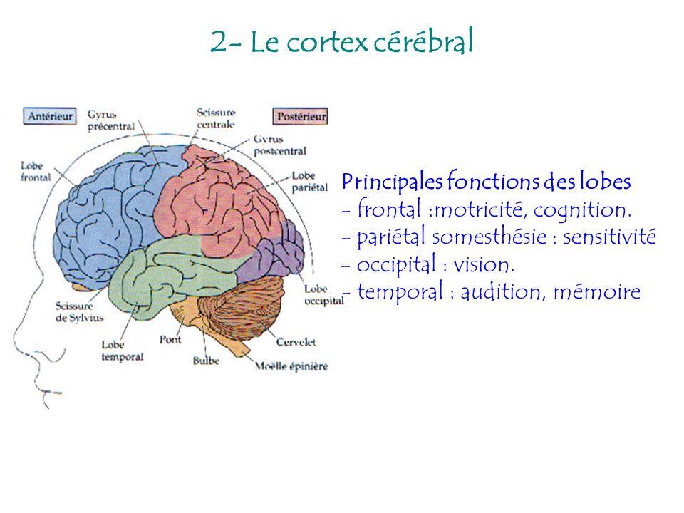 2- Le cortex cérébral Principales fonctions des lobes - frontal :motricité, cognition. - pariétal somesthésie : sensitivité - occipital : vision. - te