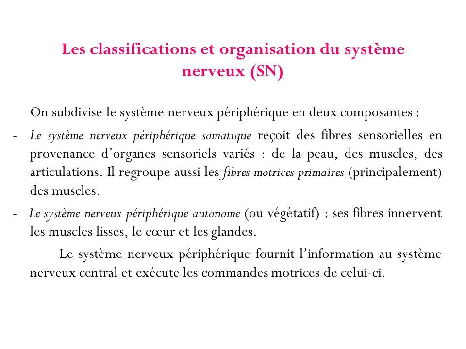 Les classifications et organisation du système nerveux (SN) On subdivise le système nerveux périphérique en deux composantes : - Le système nerveux pé