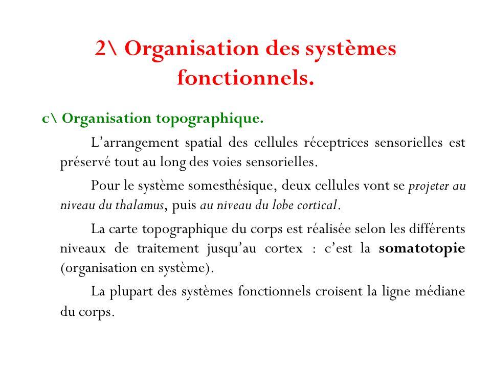 2\ Organisation des systèmes fonctionnels. c\ Organisation topographique. Larrangement spatial des cellules réceptrices sensorielles est préservé tout