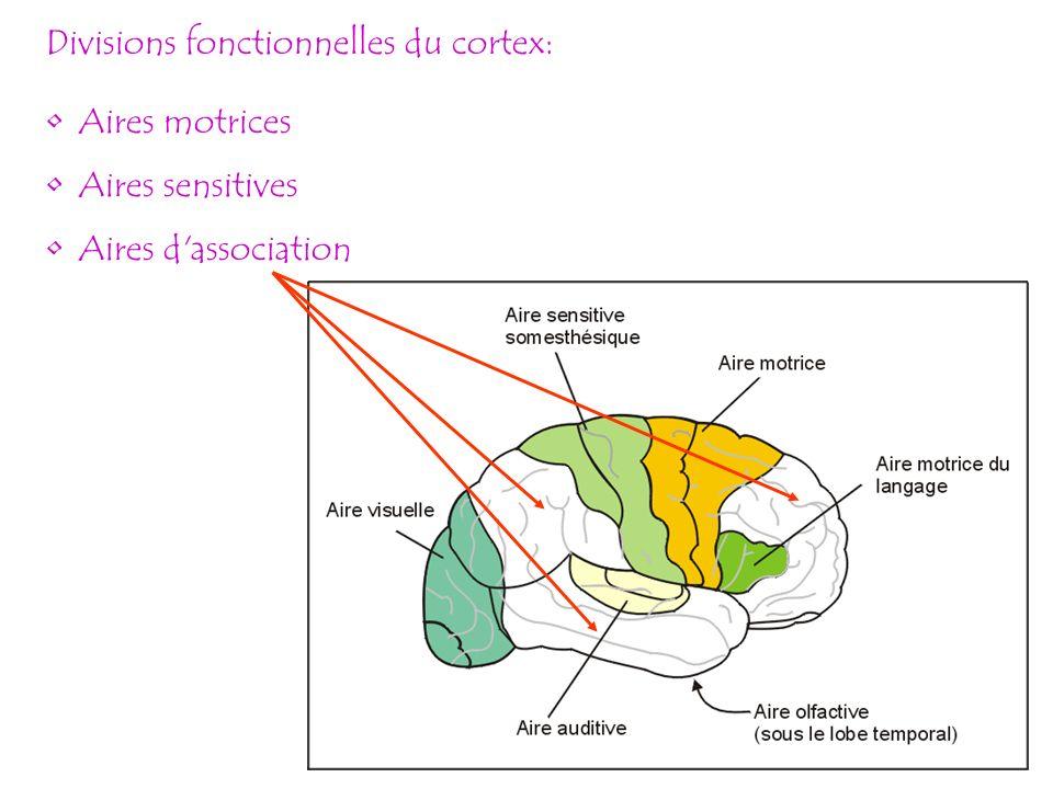 Divisions fonctionnelles du cortex: Aires motrices Aires sensitives Aires d'association