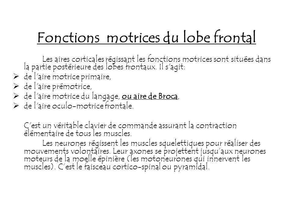 Fonctions motrices du lobe frontal Les aires corticales régissant les fonctions motrices sont situées dans la partie postérieure des lobes frontaux. I