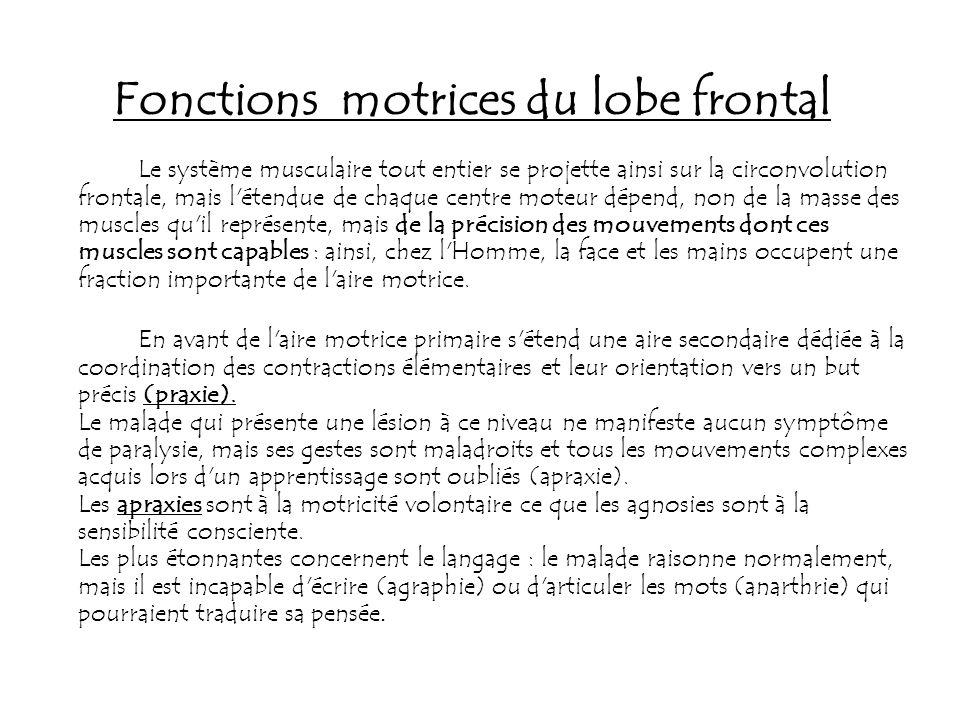Fonctions motrices du lobe frontal Le système musculaire tout entier se projette ainsi sur la circonvolution frontale, mais l'étendue de chaque centre