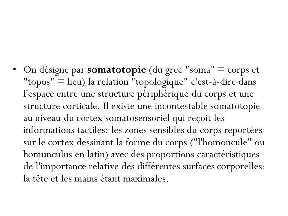 On désigne par somatotopie (du grec