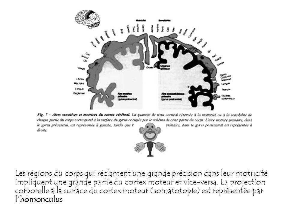 Les régions du corps qui réclament une grande précision dans leur motricité impliquent une grande partie du cortex moteur et vice-versa. La projection