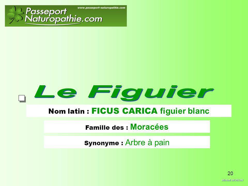 20 Nom latin : FICUS CARICA figuier blanc Famille des : Moracées Synonyme : Arbre à pain
