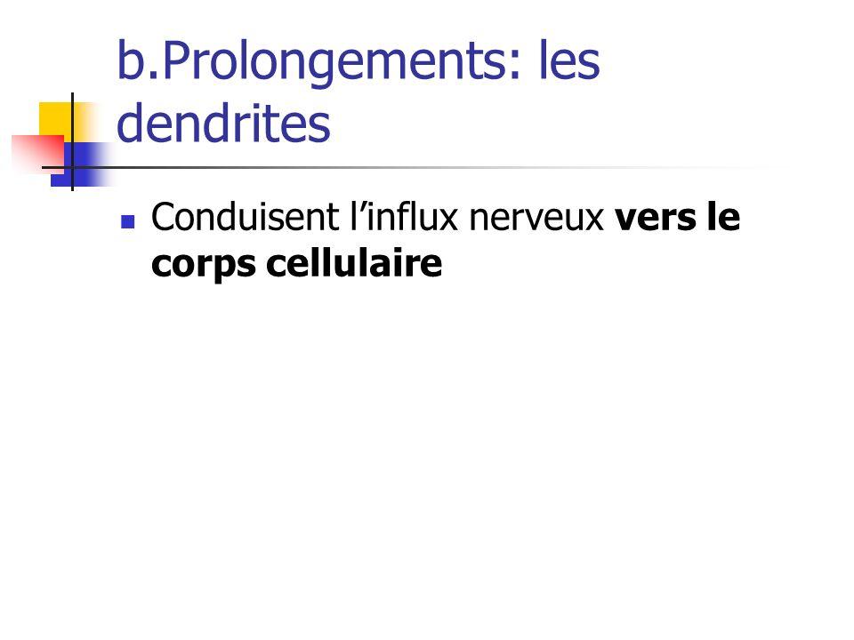 b.Prolongements: les dendrites Conduisent linflux nerveux vers le corps cellulaire