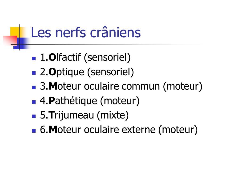 Les nerfs crâniens 1.Olfactif (sensoriel) 2.Optique (sensoriel) 3.Moteur oculaire commun (moteur) 4.Pathétique (moteur) 5.Trijumeau (mixte) 6.Moteur oculaire externe (moteur)