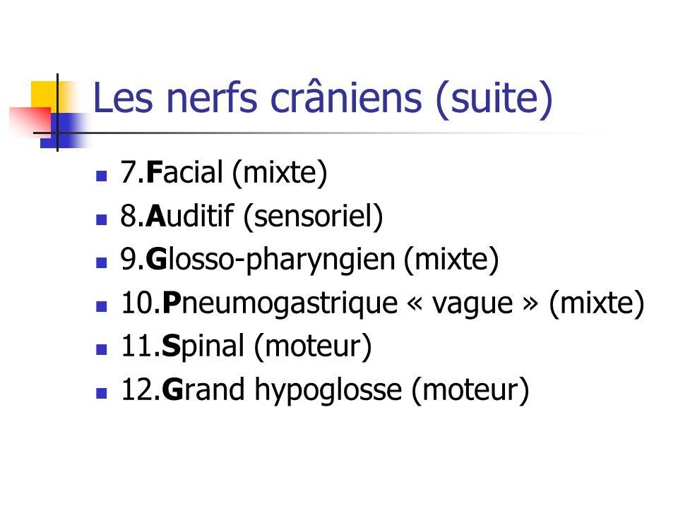 Les nerfs crâniens (suite) 7.Facial (mixte) 8.Auditif (sensoriel) 9.Glosso-pharyngien (mixte) 10.Pneumogastrique « vague » (mixte) 11.Spinal (moteur) 12.Grand hypoglosse (moteur)