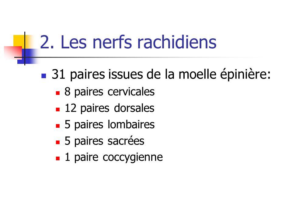 2. Les nerfs rachidiens 31 paires issues de la moelle épinière: 8 paires cervicales 12 paires dorsales 5 paires lombaires 5 paires sacrées 1 paire coc