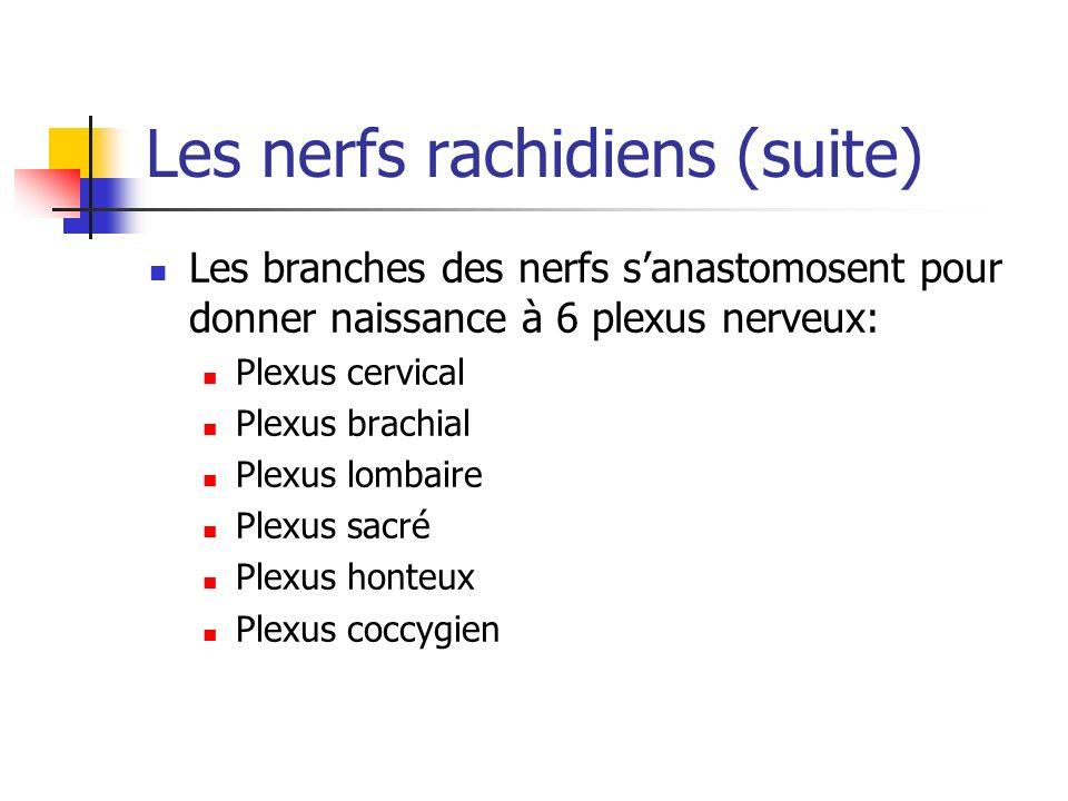 Les nerfs rachidiens (suite) Les branches des nerfs sanastomosent pour donner naissance à 6 plexus nerveux: Plexus cervical Plexus brachial Plexus lombaire Plexus sacré Plexus honteux Plexus coccygien