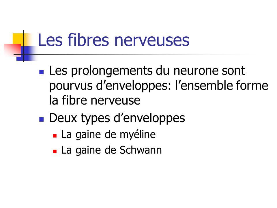 Les fibres nerveuses Les prolongements du neurone sont pourvus denveloppes: lensemble forme la fibre nerveuse Deux types denveloppes La gaine de myéline La gaine de Schwann
