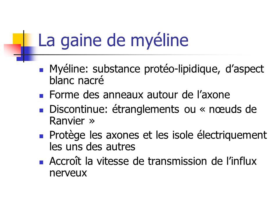 La gaine de myéline Myéline: substance protéo-lipidique, daspect blanc nacré Forme des anneaux autour de laxone Discontinue: étranglements ou « nœuds de Ranvier » Protège les axones et les isole électriquement les uns des autres Accroît la vitesse de transmission de linflux nerveux