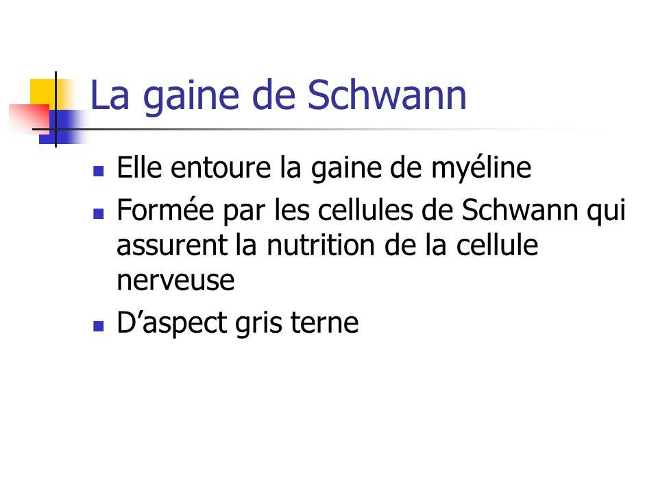 La gaine de Schwann Elle entoure la gaine de myéline Formée par les cellules de Schwann qui assurent la nutrition de la cellule nerveuse Daspect gris terne