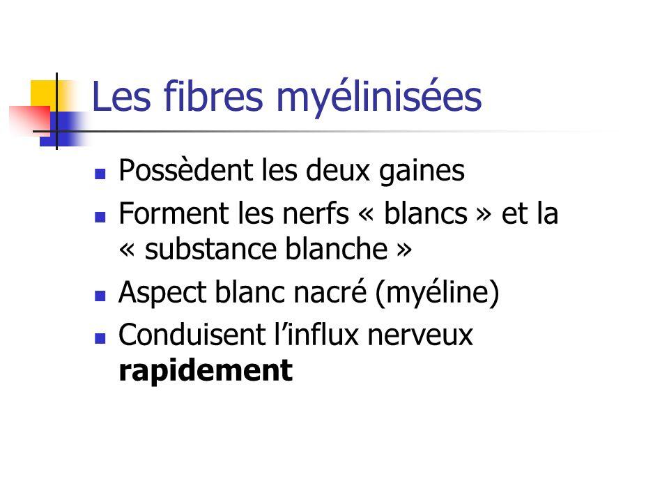 Les fibres myélinisées Possèdent les deux gaines Forment les nerfs « blancs » et la « substance blanche » Aspect blanc nacré (myéline) Conduisent linflux nerveux rapidement