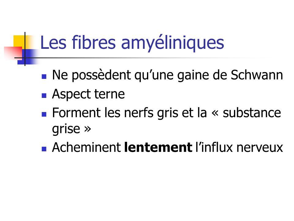 Les fibres amyéliniques Ne possèdent quune gaine de Schwann Aspect terne Forment les nerfs gris et la « substance grise » Acheminent lentement linflux nerveux