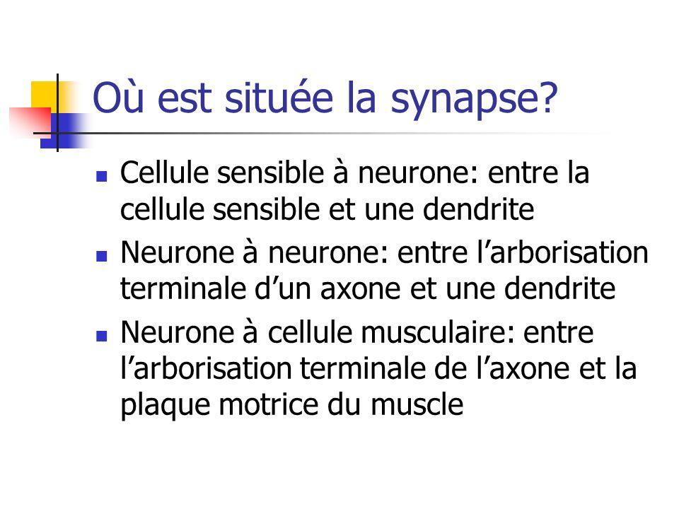 Où est située la synapse.