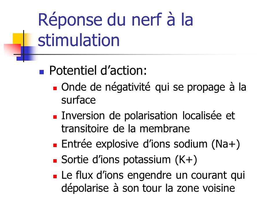 Réponse du nerf à la stimulation Potentiel daction: Onde de négativité qui se propage à la surface Inversion de polarisation localisée et transitoire de la membrane Entrée explosive dions sodium (Na+) Sortie dions potassium (K+) Le flux dions engendre un courant qui dépolarise à son tour la zone voisine