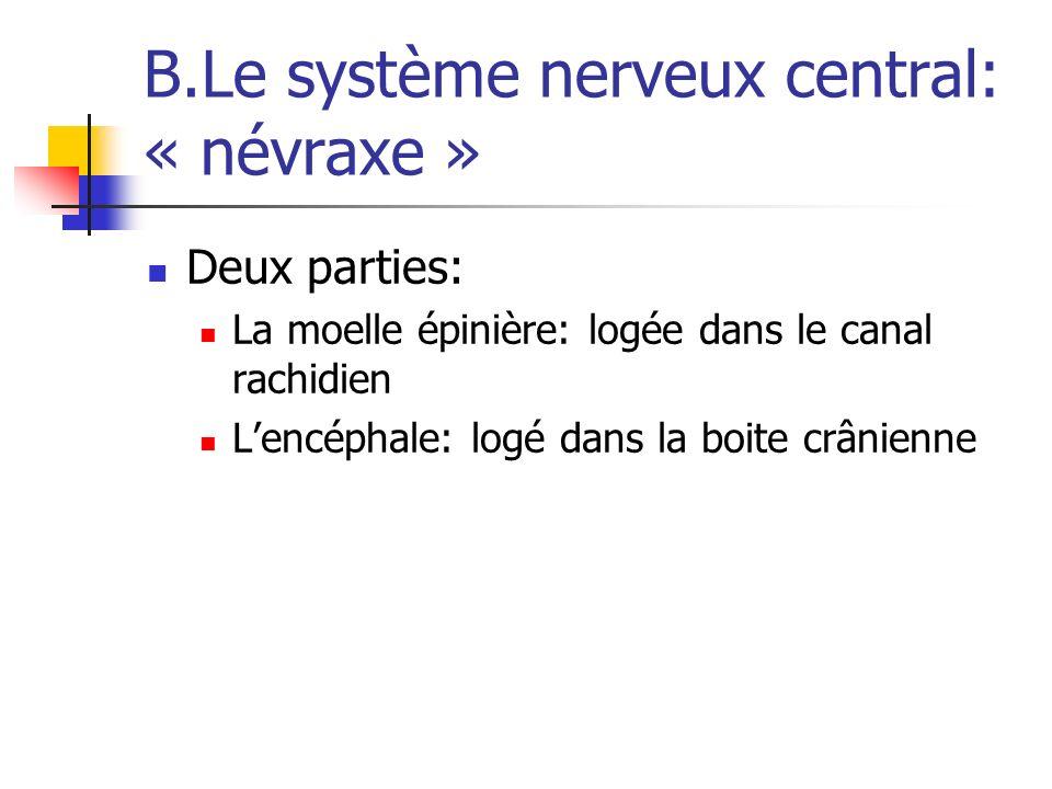 B.Le système nerveux central: « névraxe » Deux parties: La moelle épinière: logée dans le canal rachidien Lencéphale: logé dans la boite crânienne