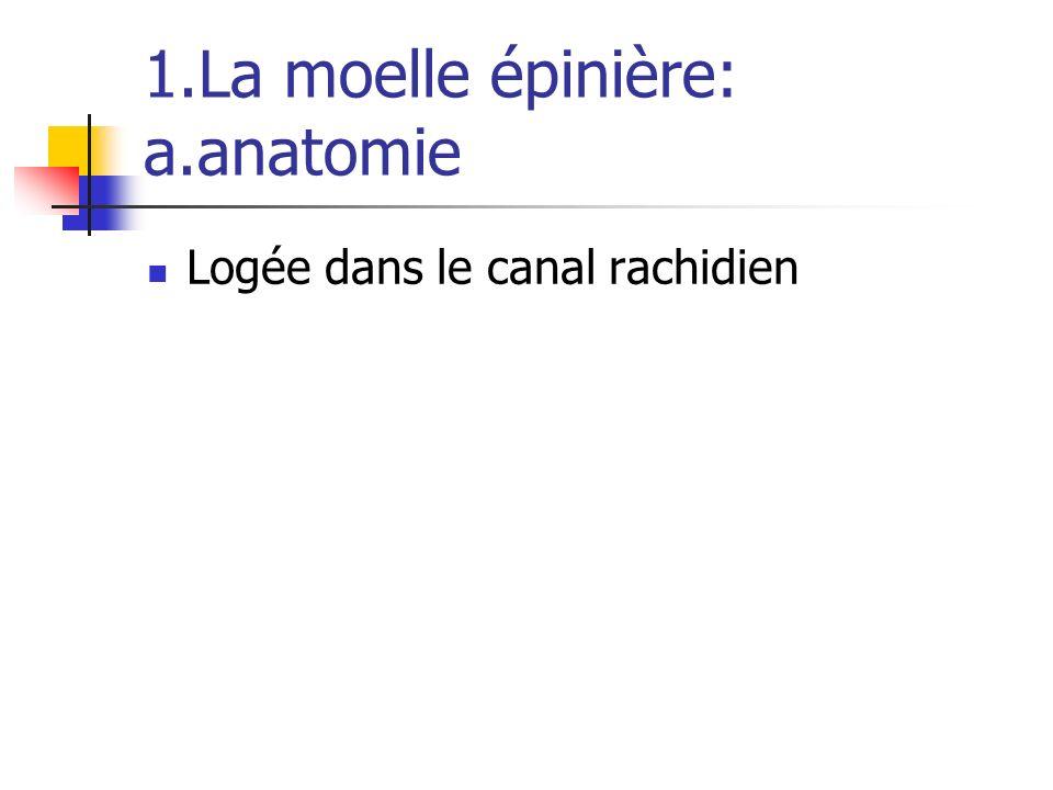 1.La moelle épinière: a.anatomie Logée dans le canal rachidien