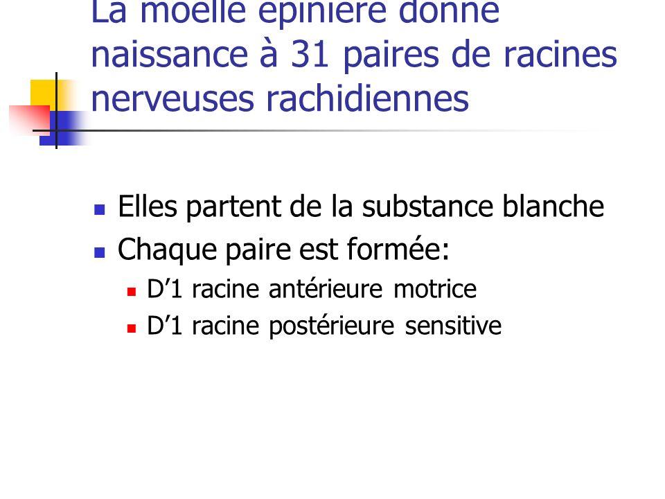 La moelle épinière donne naissance à 31 paires de racines nerveuses rachidiennes Elles partent de la substance blanche Chaque paire est formée: D1 racine antérieure motrice D1 racine postérieure sensitive