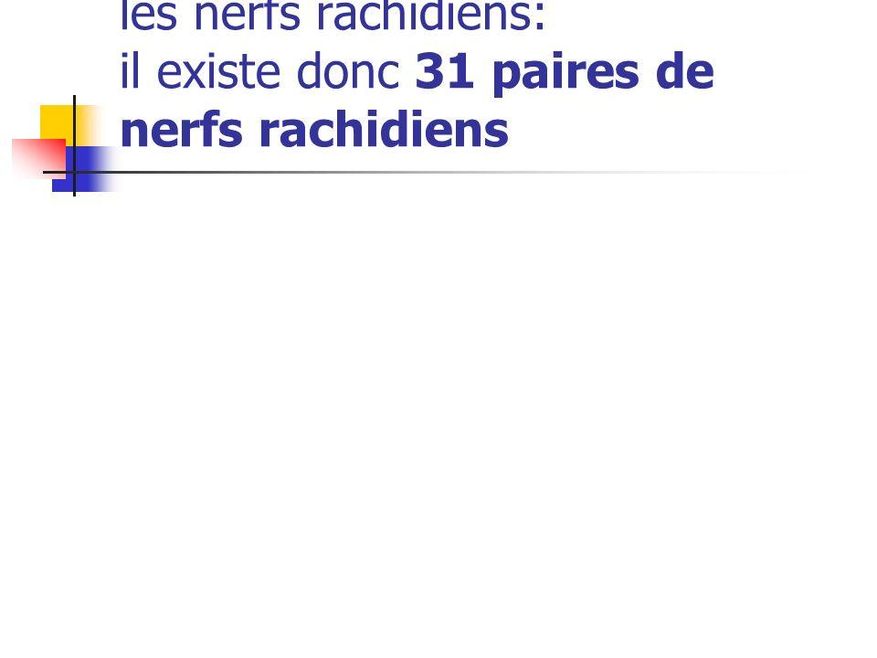 Chaque paire sunit pour former les nerfs rachidiens: il existe donc 31 paires de nerfs rachidiens