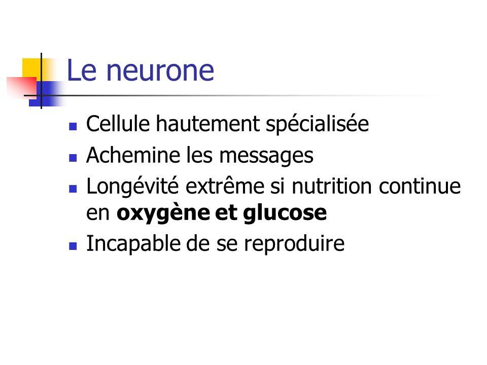 Le neurone Cellule hautement spécialisée Achemine les messages Longévité extrême si nutrition continue en oxygène et glucose Incapable de se reproduire