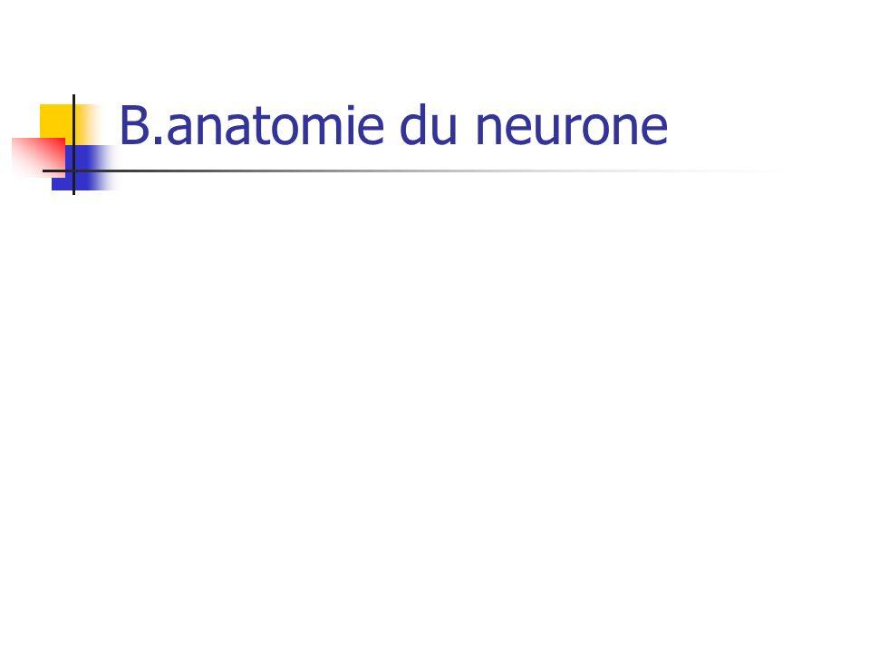 B.anatomie du neurone