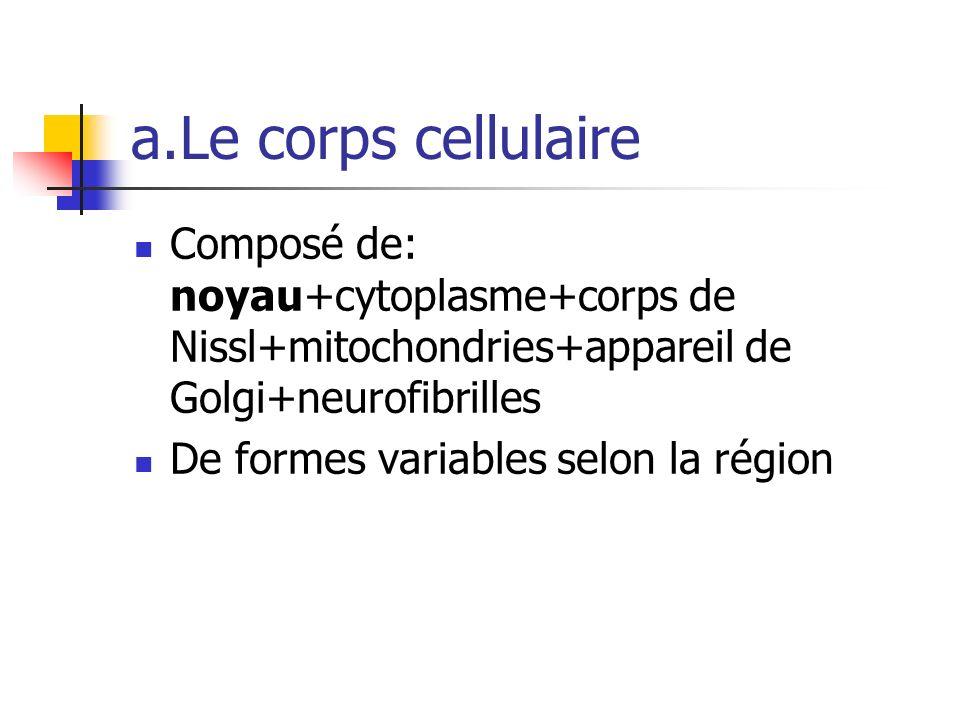 a.Le corps cellulaire Composé de: noyau+cytoplasme+corps de Nissl+mitochondries+appareil de Golgi+neurofibrilles De formes variables selon la région