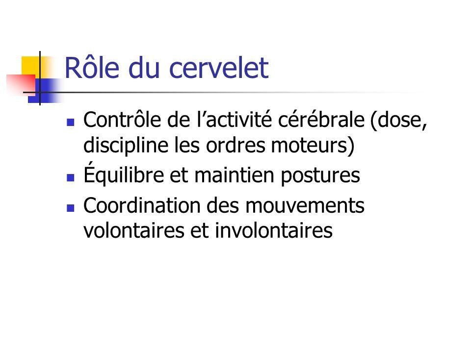 Rôle du cervelet Contrôle de lactivité cérébrale (dose, discipline les ordres moteurs) Équilibre et maintien postures Coordination des mouvements volontaires et involontaires